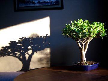 можно ди держать дома денежное дерево