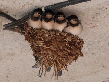 примета ласточки свили гнездо
