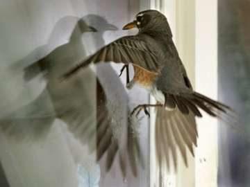 примета птица ударилась в окно