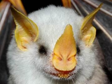 к чему снится белая летучая мышь