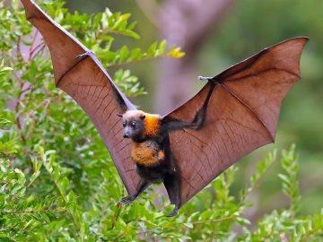 сонник летучая мышь