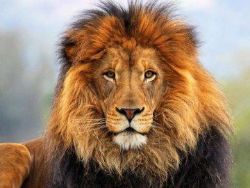 сонник лев