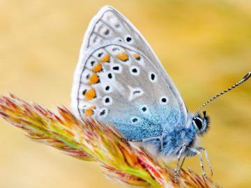 видеть во сне бабочку