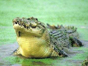 Сонник крокодилы для незамужней женщины