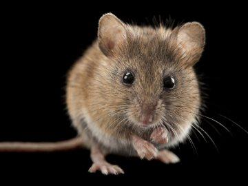 приснились мыши
