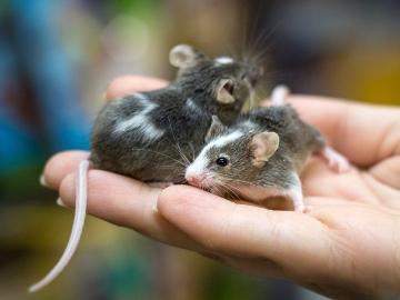сонник мыши к чему снятся
