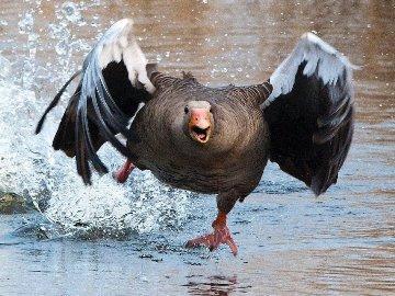приснились гуси