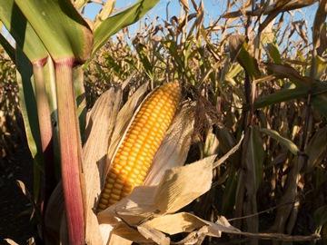 кукуруза во сне