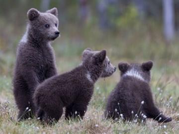приснился медвежонок