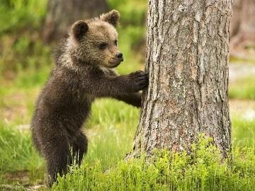 к чему снится медвежонок