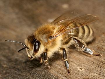 видеть во сне пчел