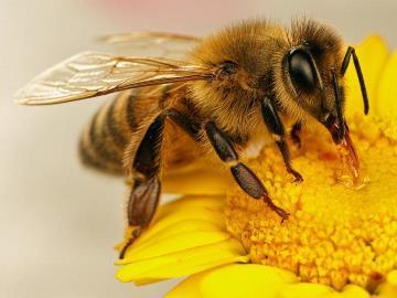 К чему снится Рой пчел. Видеть во сне Рой пчел