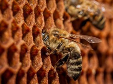 сонник пчелы