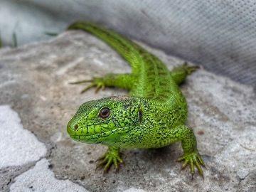Сонник ящерица большая зеленая