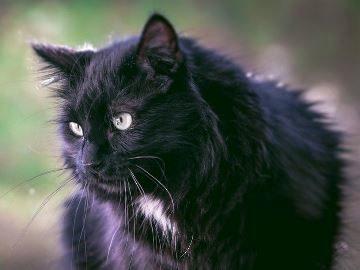 Если снится черная кошка