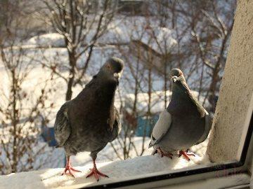 к чему снятся голуби во сне женщине