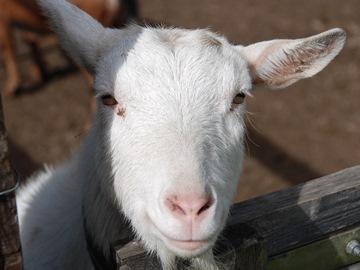 сонник коза