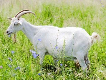 Снится коза к чему - к чему снится коза белая сонник