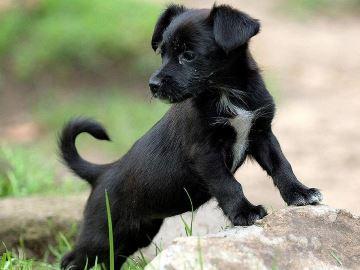 к чему снится черный щенок