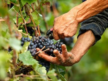 собирать виноград во сне