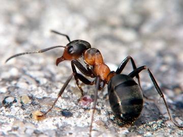 муравьи в большом количестве