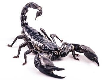 к чему снится черный скорпион