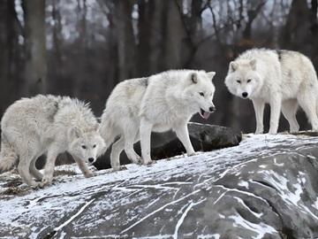 волк во сне