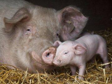 приснилась свинья