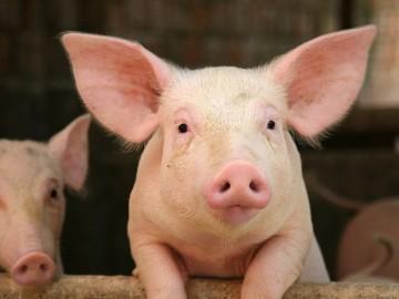 к чему снится живая свинья