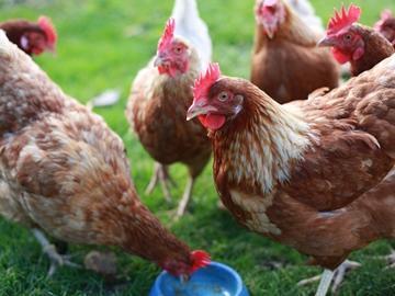 Сонник — куры: к чему снится во сне рыжая, черная и белая курица{q} К чему снится курица, несущая яйца, клюющая, вареная, с цыплятами{q}