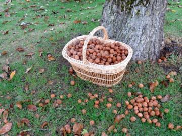 собирать грецкие орехи