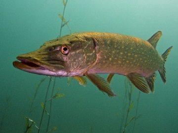 Значение по сонникам сна, где снится щука: маленькая и большая особь, рыба в проруби, ванной или бассейне