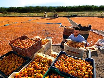 продавец абрикосов