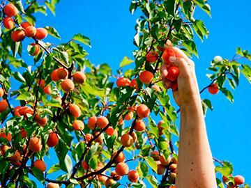 срывать абрикосы