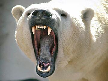 агрессивный белый медведь