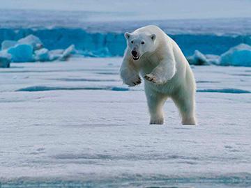 белый медведь бежит