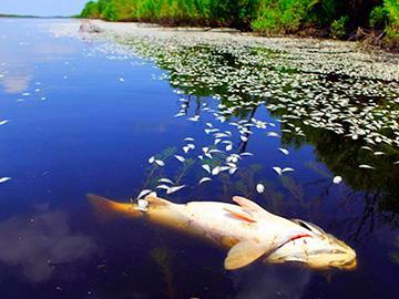 мертвая рыба в воде