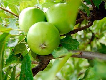 зеленые яблоки на ветвях